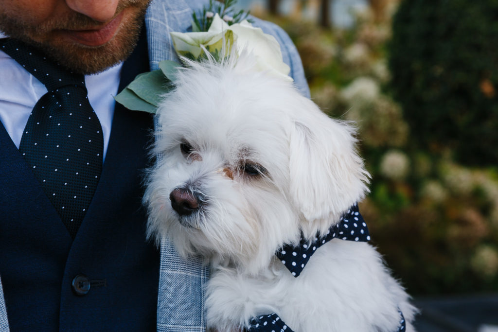 White dog wearing a blue polka dot bowtie being held by the groom